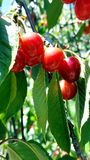Ein Bündel reife rote Kirschen auf einem Kirschbaum Lizenzfreie Stockfotografie