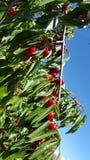 Ein Bündel reife rote Kirschen auf einem Kirschbaum Stockbilder