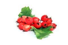 Ein Bündel rote Beeren des Weißdorns lokalisiert Stockfotos