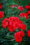 Ein Bündel rote Gartenrosen Stockfotos