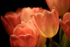 Ein Bündel rote Tulpen in der Hintergrundbeleuchtung lizenzfreie stockfotografie
