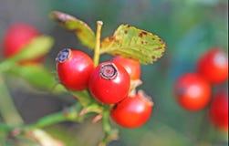 Ein Bündel rote Weißdorn-Beeren Lizenzfreie Stockfotos