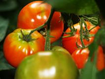 Ein Bündel Tomaten auf der Anlage Stockbild