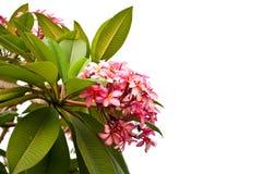 Rosa Frangipani-Blume Lizenzfreie Stockbilder