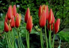 Ein Bündel von roter Tulip Flowers Stockbild