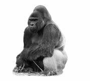 Ein b&w Bild eines silverback Tieflandgorillas Lizenzfreies Stockfoto