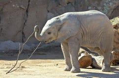 Ein Baby-afrikanischer Elefant-Spiele mit einem Stock Stockfotografie