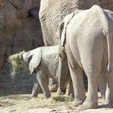 Ein Baby-afrikanischer Elefant-Spiele mit Heu Stockfotos