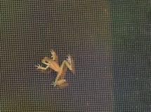 Ein Baby-Baum-Frosch auf dem aussortierten Portal in der Florida-Sommerzeit Lizenzfreie Stockfotografie
