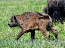Ein Baby-Bison #1 lizenzfreies stockbild