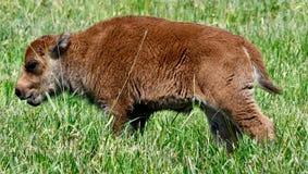 Ein Baby-Bison #3 stockbilder