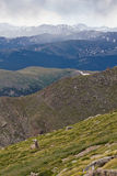Ein Baby Rocky Mountain Big Horn Sheep, der auf dem Abhang stillsteht lizenzfreies stockfoto