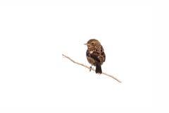 Ein Baby Stonechat-Vogel hockte allein auf einem Zweig Stockfotografie