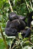 Ein Babyberggorilla auf einem Baum uganda Bwindi undurchdringlicher Forest National Park Stockfoto