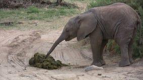 Ein Babyelefant, der Mutter ` s Mist isst stock video footage