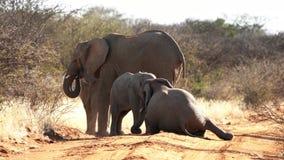 Ein Babyelefant ist gesehenes Spielen mit seinen älteren Geschwister stock footage