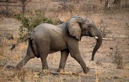 Ein Babyelefant läuft weg sambia Senken Sie Nationalpark Sambesis Der Sambesi Stockfotos
