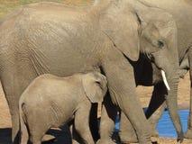Ein Babyelefant mit seiner Mutter Lizenzfreies Stockbild