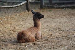 Ein Babylama Stockfoto