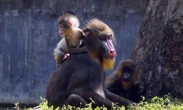 Ein Babymandrill auf der Schulter ihrer Mutter Lizenzfreie Stockfotografie