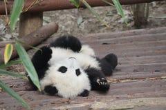 Ein Babypanda Stockbild