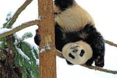 Ein Babypanda spielt auf dem Baum im bifengxia Stockfotos