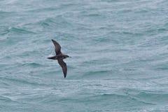 Ein balearischer Sturmtaucherseevogel im Juli, niedrig fliegend über den Ozean Lizenzfreie Stockbilder