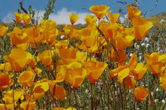 Ein Bankett von Kalifornien-Mohnblumen stockfotos