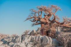 Ein Baobab-Baum zwischen Granit-Flusssteinen Lizenzfreies Stockbild