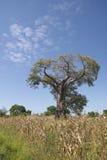 Ein Baobabbaum, Malawi. Lizenzfreies Stockfoto