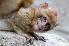 Ein Barbary-Affe Lizenzfreies Stockfoto