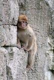 Ein Barbary-Affe Lizenzfreies Stockbild