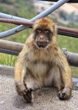 Ein Barbary-Affe, der auf der Straße an der Spitze des Felsens von Gibraltar sitzt Stockfoto