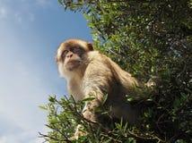 Ein Barbary-Affe oder ein Makaken-Affe von Gibraltar Stockfotografie