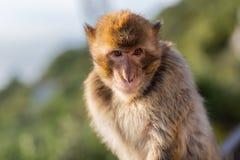 Ein Barbary-Makaken Stockbild