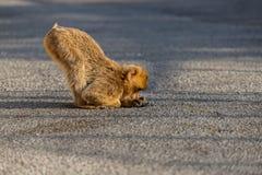 Ein Barbary-Makaken, der eine Ameise nachforscht Lizenzfreie Stockbilder