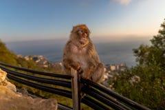 Ein Barbary-Makaken hockte auf Kabeln bei Sonnenuntergang Stockfotografie