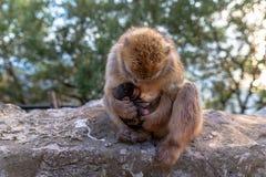 Ein Barbary-Makaken mit neugeborenem Baby Lizenzfreie Stockbilder