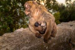 Ein Barbary-Makaken mit neugeborenem Baby Lizenzfreie Stockfotografie