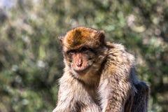 Ein Barbary-Makakenaffe in Gibraltar Stockfoto