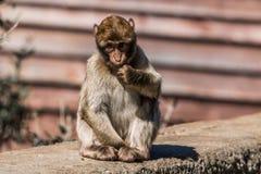 Ein Barbary-Makakenaffe in Gibraltar Lizenzfreies Stockfoto