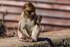 Ein Barbary-Makakenaffe in Gibraltar Lizenzfreies Stockbild
