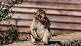 Ein Barbary-Makakenaffe in Gibraltar Lizenzfreie Stockfotos