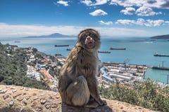 Ein Barbary-Makakenaffe in Gibraltar Lizenzfreie Stockfotografie