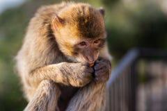 Ein Barbary-Makakenessen Lizenzfreies Stockfoto