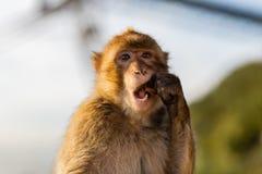 Ein Barbary-Makakenessen Stockfoto