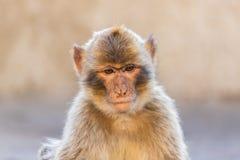 Ein Barbary-Makakenporträt Lizenzfreies Stockfoto