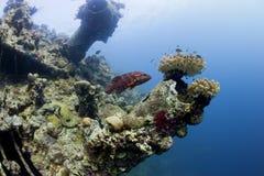 Ein Barsch, der nahe Schiffswrack im Roten Meer schwimmt Lizenzfreies Stockfoto