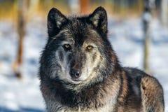 Ein Bauholz Wolf Stare stockfotografie