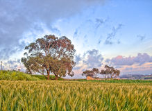 Ein Baum auf dem Horizont mit einem Weizenfeld im Vordergrund bei Fawwara, Malta Stockfoto